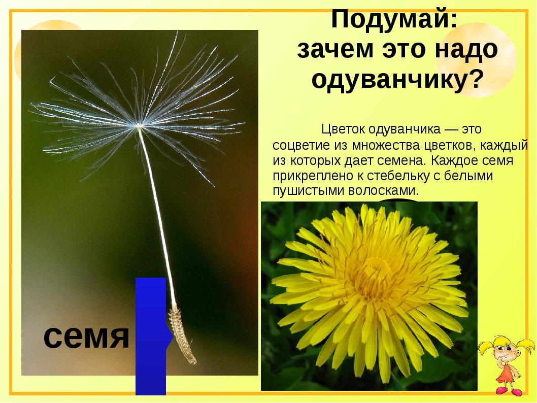 Подумай: зачем это надо одуванчику? Цветок одуванчика — это соцветие из мно...