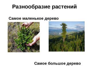 Разнообразие растений Самое маленькое дерево Самое большое дерево