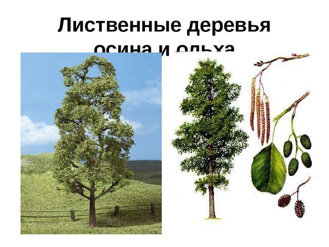 Лиственные деревья осина и ольха