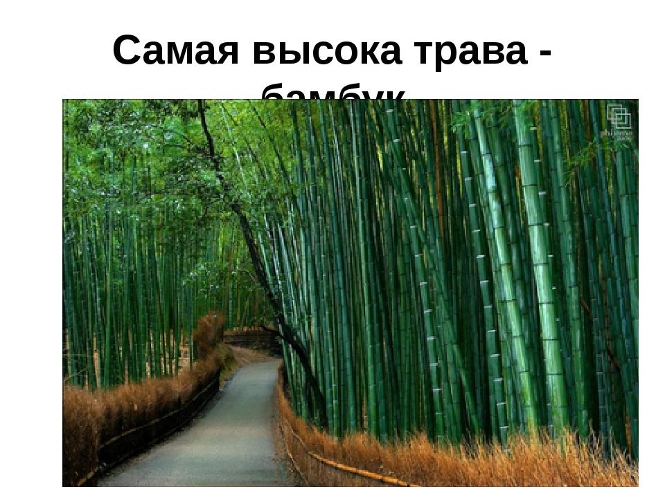 Самая высока трава - бамбук