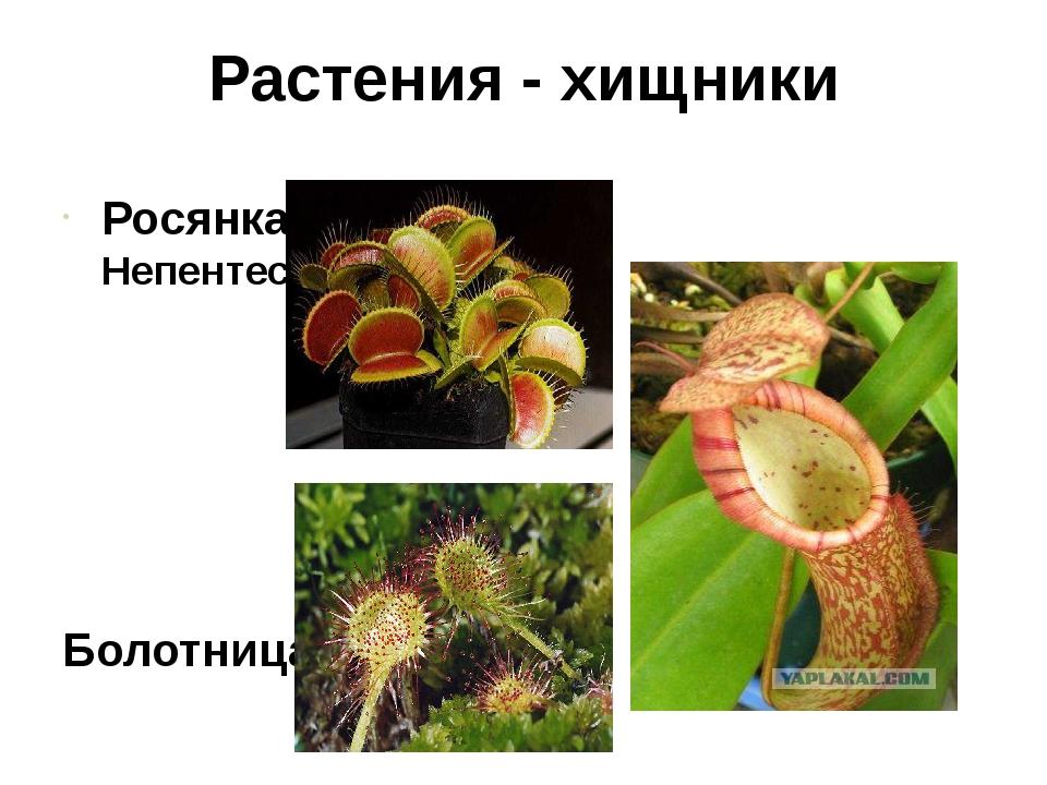 Растения - хищники Росянка Непентес Болотница