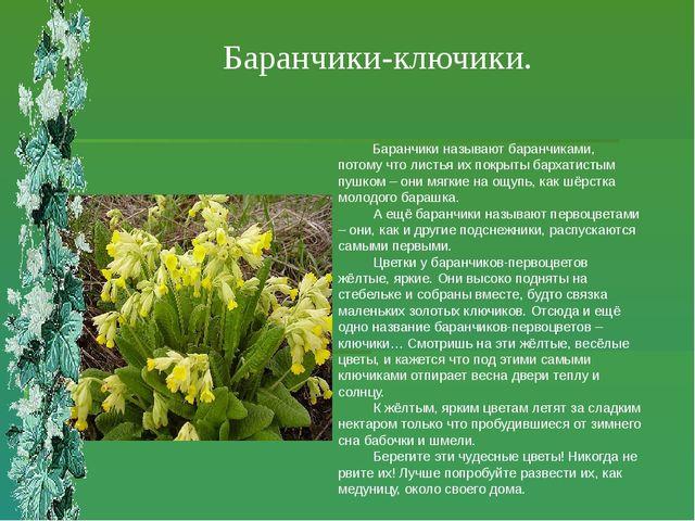 Баранчики-ключики. Баранчики называют баранчиками, потому что листья их покры...