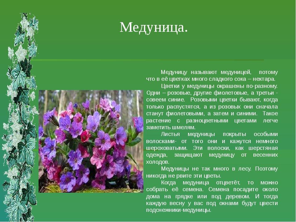 Медуница. Медуницу называют медуницей, потому что в её цветках много сладкого...