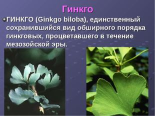 Гинкго ГИНКГО (Ginkgo biloba), единственный сохранившийся вид обширного поряд
