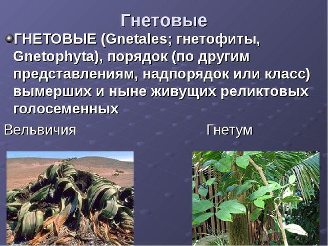 Гнетовые ГНЕТОВЫЕ (Gnetales; гнетофиты, Gnetophyta), порядок (по другим предс...