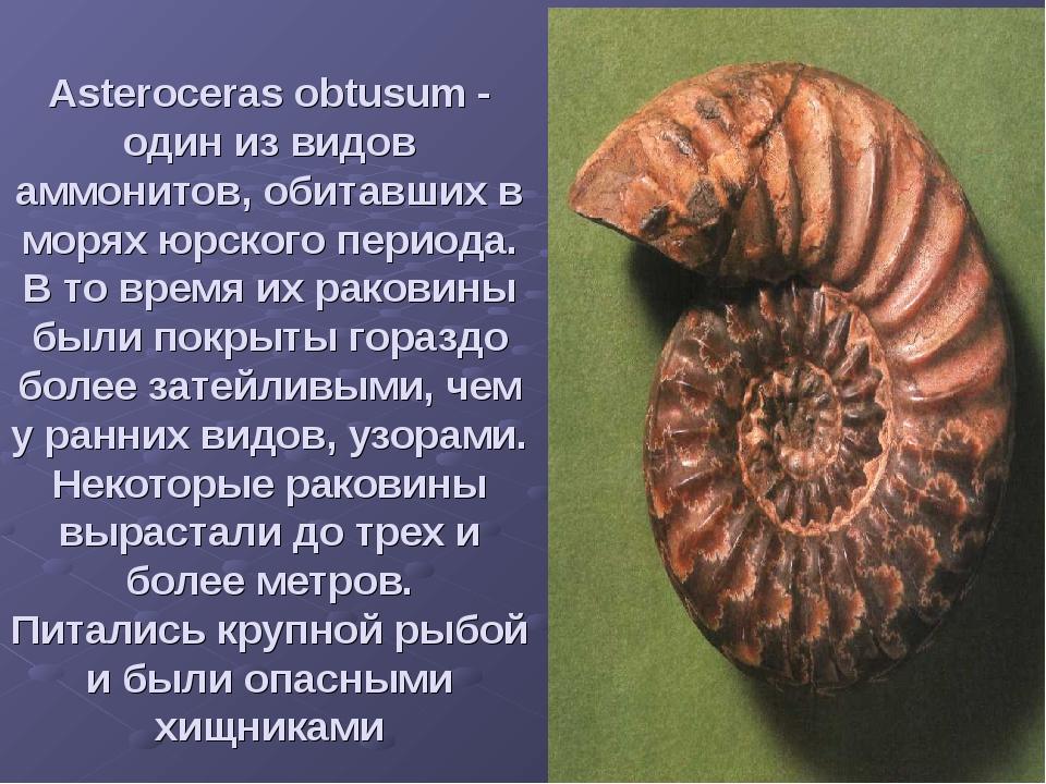 Asteroceras obtusum - один из видов аммонитов, обитавших в морях юрского пери...