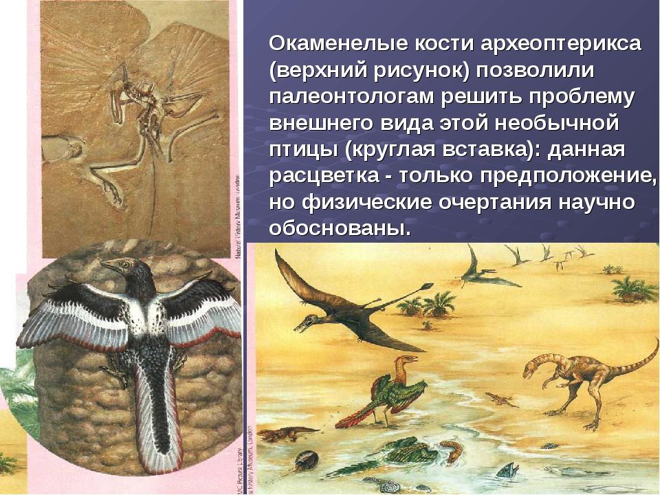 Окаменелые кости археоптерикса (верхний рисунок) позволили палеонтологам реши...