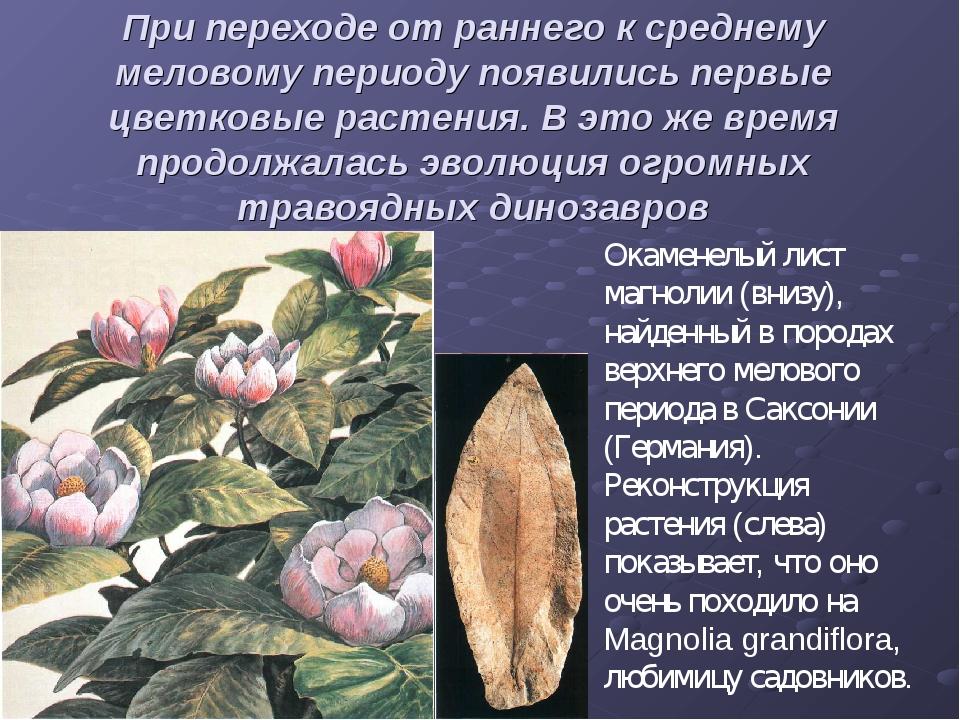 При переходе от раннего к среднему меловому периоду появились первые цветковы...