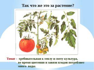 Томат - требовательная к теплу и свету культура, во время цветения и завязи