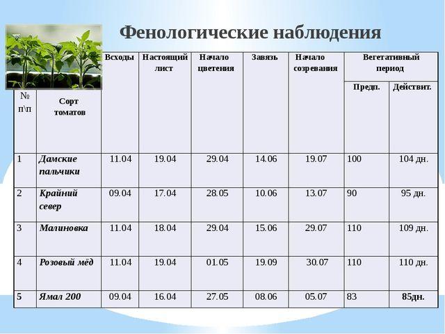 Фенологические наблюдения № п\п Сорт томатов Всходы Настоящий лист Начало цв...