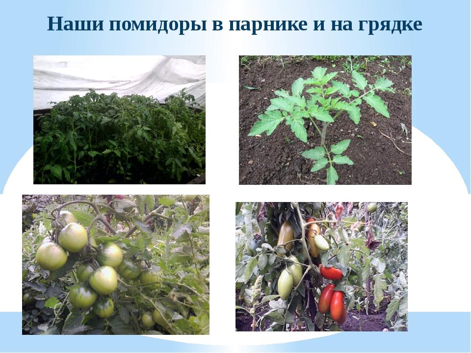 Наши помидоры в парнике и на грядке