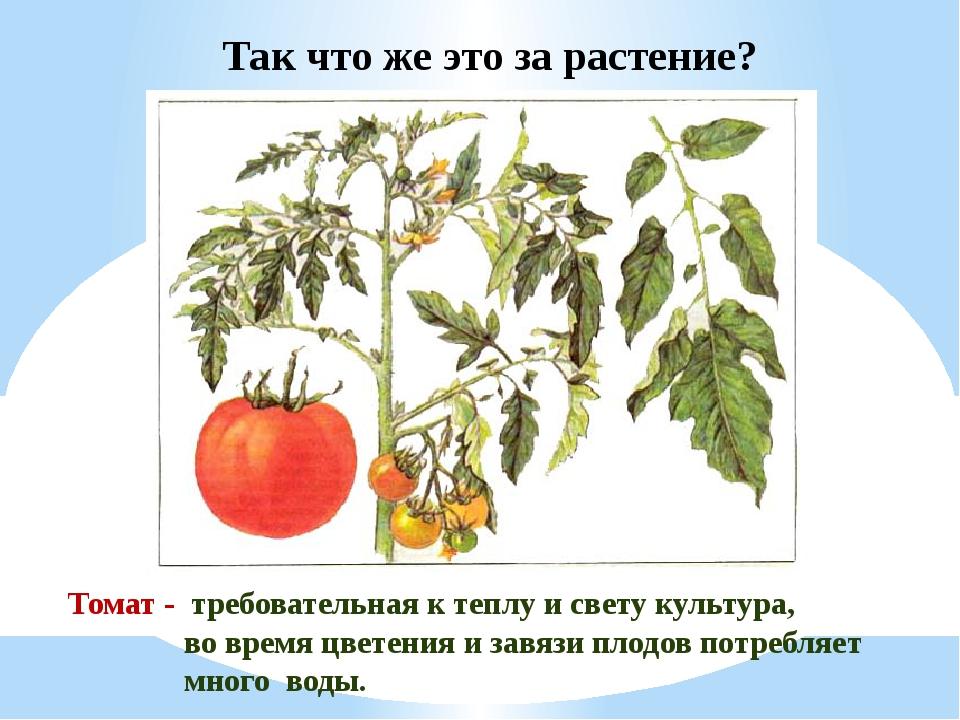 Томат - требовательная к теплу и свету культура, во время цветения и завязи...