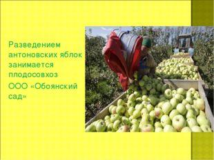 Разведением антоновских яблок занимается плодосовхоз ООО «Обоянский сад»