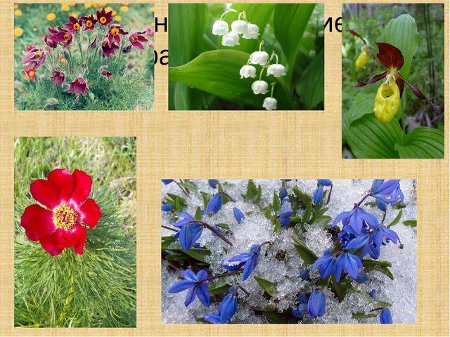 Растения , входящие в красную книгу: