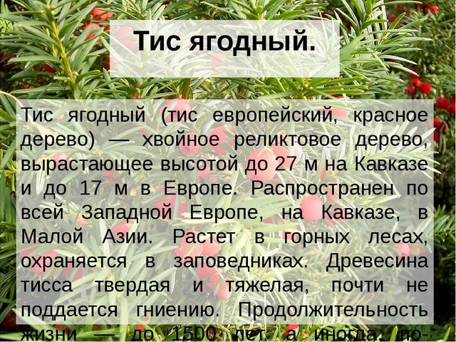 Тис ягодный. Тис ягодный (тис европейский, красное дерево) — хвойное реликтов...