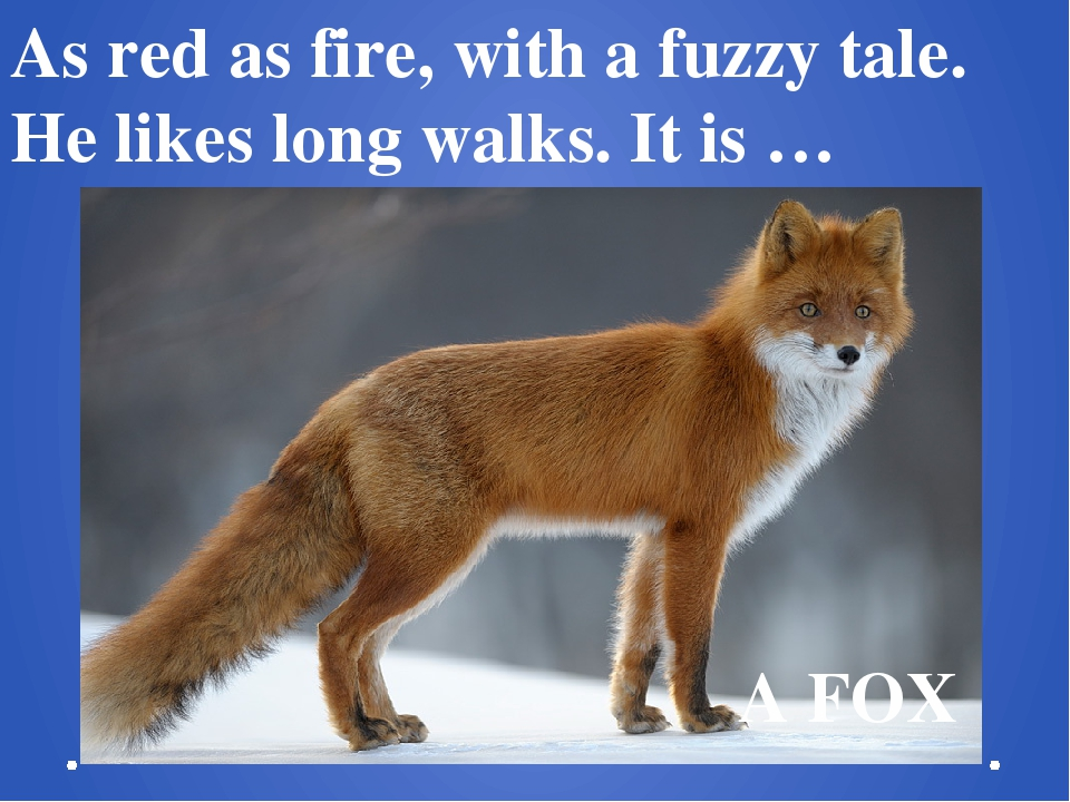 As red as fire, with a fuzzy tale.  He likes long walks. It is …   A FOX