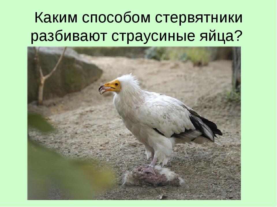 Каким способом стервятники разбивают страусиные яйца?