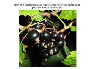 Рисунок 4 Ягоды смородины черной в зависимости от применения регулятора рост