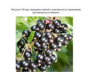 Рисунок 5 Ягоды смородины черной в зависимости от применения регулятора рост