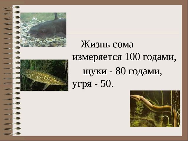 Жизнь сома измеряется 100 годами, щуки - 80 годами, угря - 50.