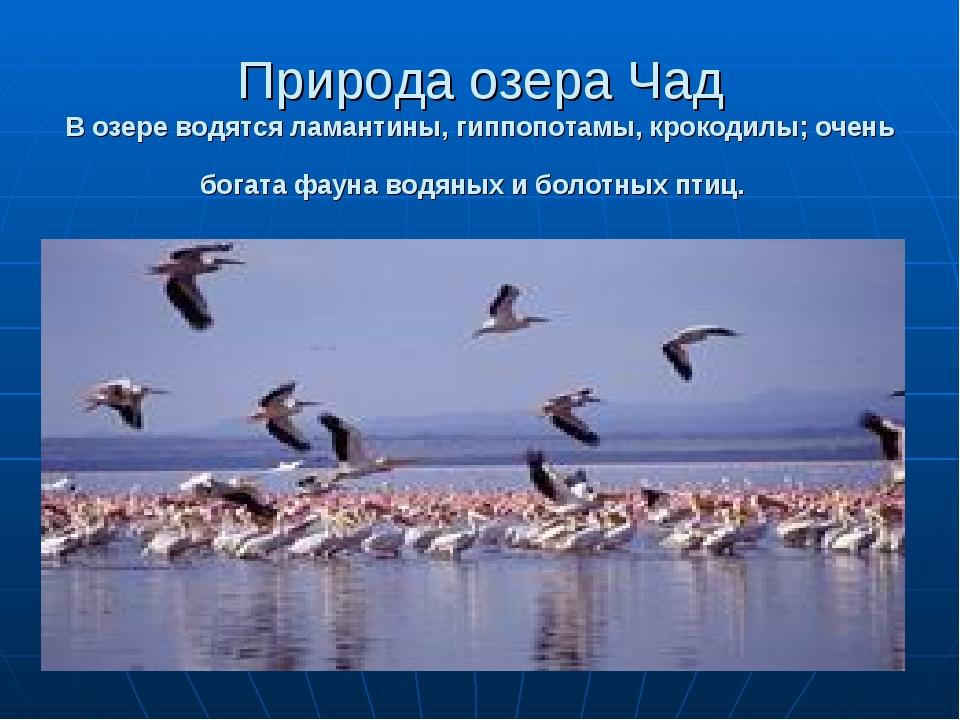 Природа озера Чад В озере водятся ламантины, гиппопотамы, крокодилы; очень бо...