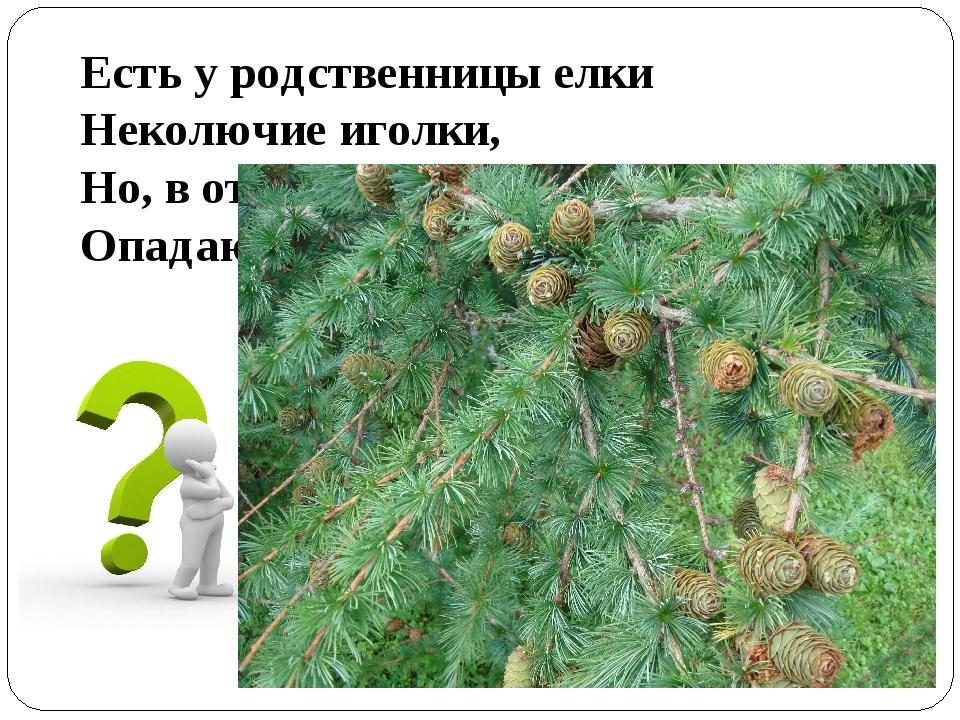 Есть у родственницы елки Неколючие иголки, Но, в отличие от елки, Опадают...