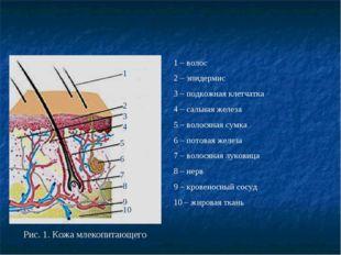 Рис. 1. Кожа млекопитающего 1 2 1 – волос 2 – эпидермис 3 – подкожная клетча