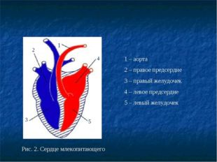 Рис. 2. Сердце млекопитающего 2 5 1 4 3 1 – аорта 2 – правое предсердие 3 – п