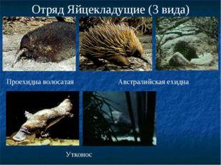 Отряд Яйцекладущие (3 вида) Проехидна волосатая Австралийская ехидна Утконос