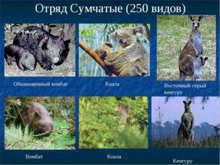 Отряд Сумчатые (250 видов) Обыкновенный вомбат Коала Восточный серый кенгуру