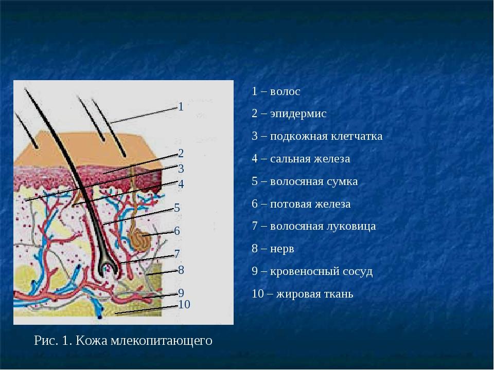 Рис. 1. Кожа млекопитающего 1 2 1 – волос 2 – эпидермис 3 – подкожная клетча...