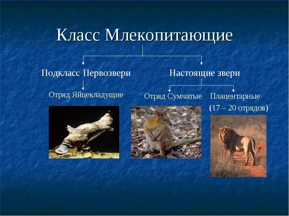 Класс Млекопитающие Подкласс Первозвери Настоящие звери Отряд Яйцекладущие От...