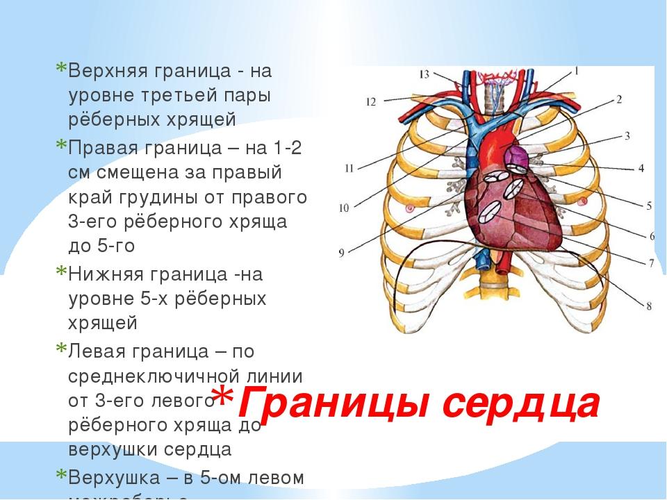 Границы сердца Верхняя граница - на уровне третьей пары рёберных хрящей Права...