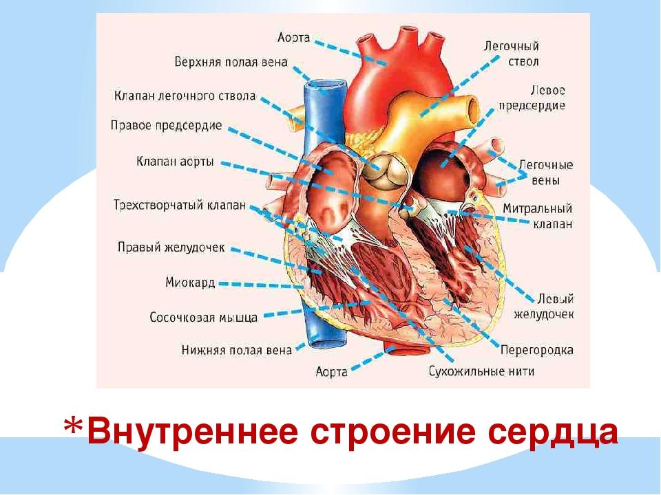 Строение сердца анатомия картинки