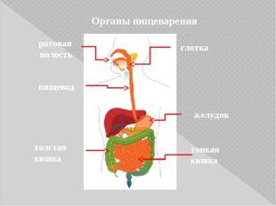 Органы пищеварения ротовая полость желудок глотка пищевод толстая кишка тонка