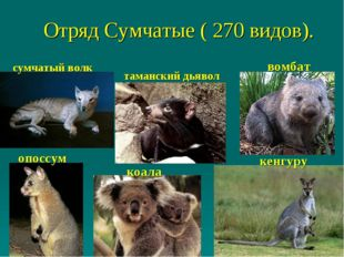 Отряд Сумчатые ( 270 видов). опоссум кенгуру сумчатый волк таманский дьявол в