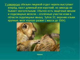 У узконосых обезьян лицевой отдел черепа выступает вперёд, хвост длинный или