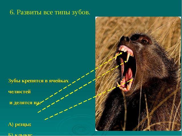 6. Развиты все типы зубов. Зубы крепятся в ячейках челюстей и делятся на: А)...