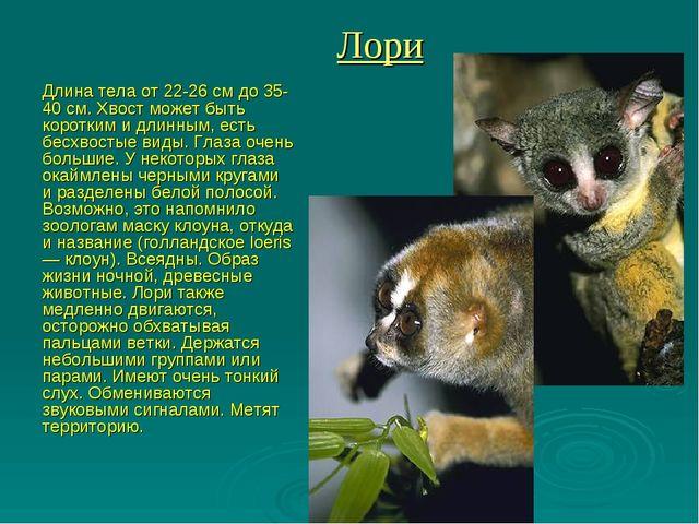 Лори Длина тела от 22-26 см до 35-40 см. Хвост может быть коротким и длинным,...