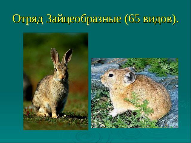 Отряд Зайцеобразные (65 видов).