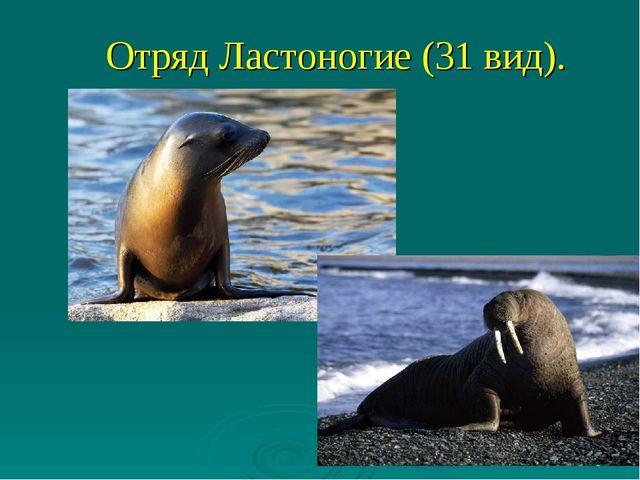 Отряд Ластоногие (31 вид).