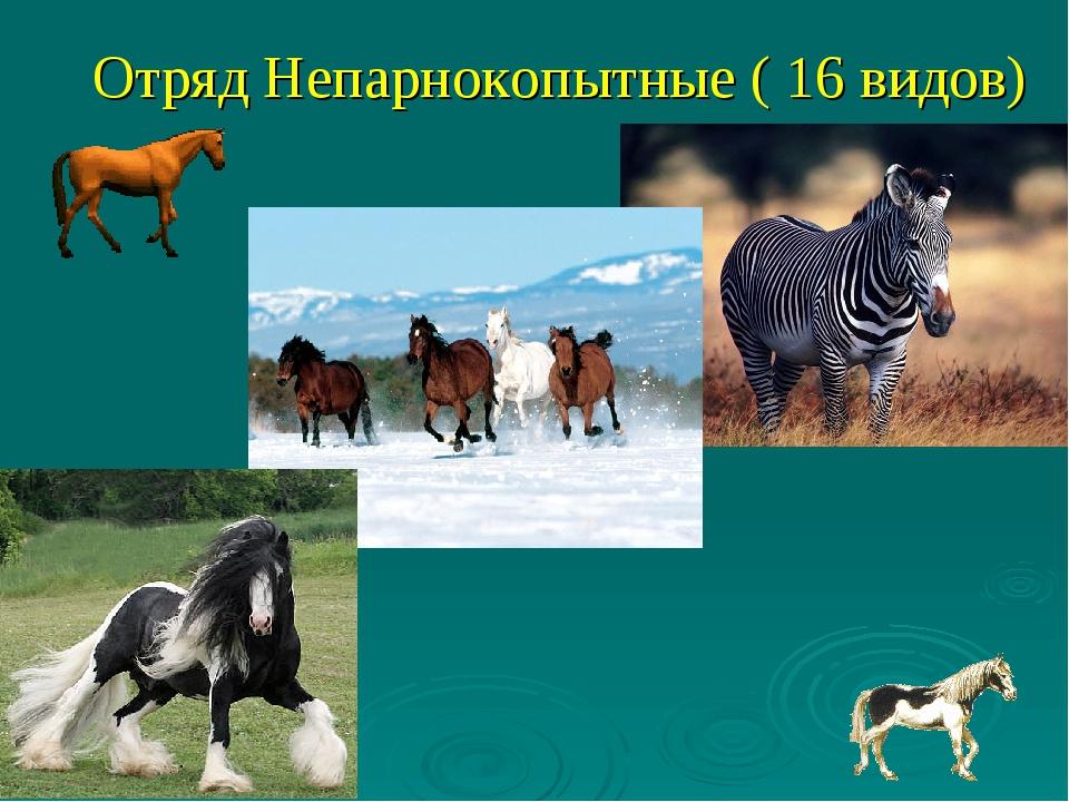 Отряд Непарнокопытные ( 16 видов)