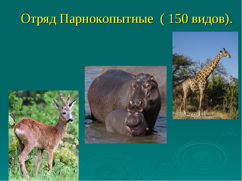 Отряд Парнокопытные ( 150 видов).