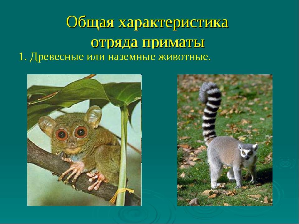 Общая характеристика отряда приматы 1. Древесные или наземные животные.