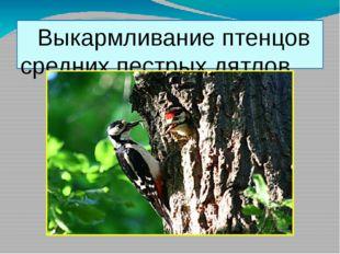 Выкармливание птенцов средних пестрых дятлов