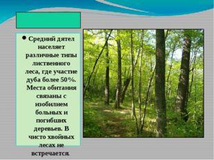 Биотоп Средний дятел населяет различные типы лиственного леса, где участие д