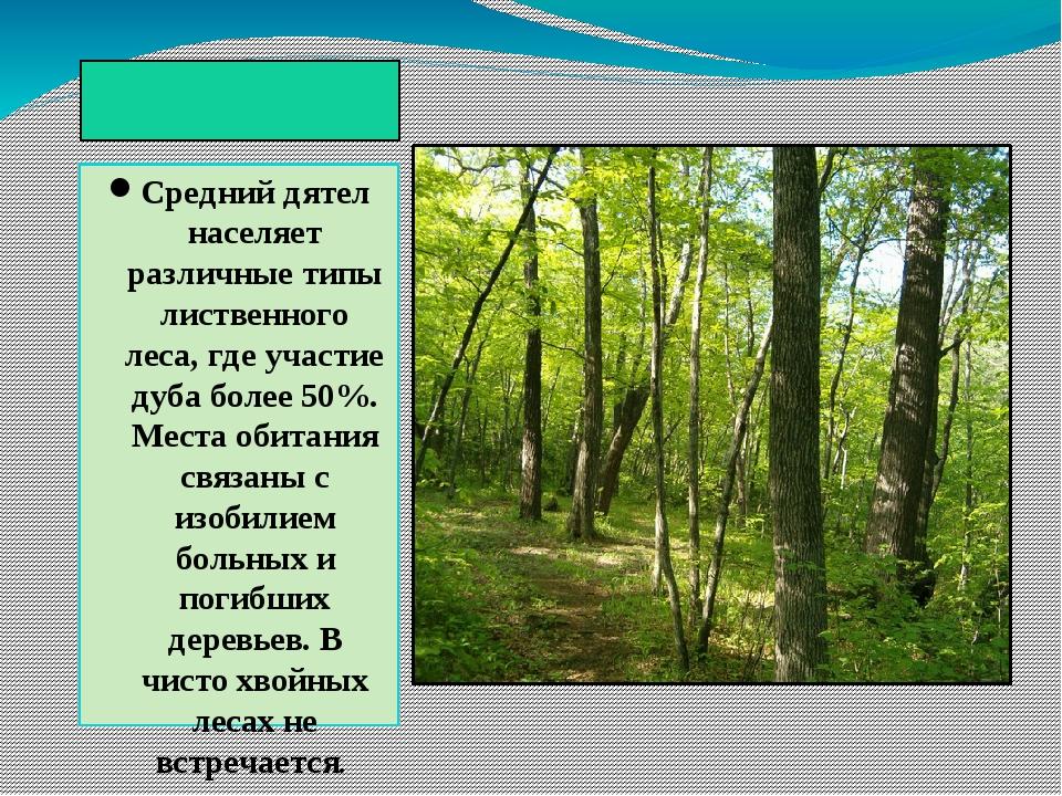 Биотоп Средний дятел населяет различные типы лиственного леса, где участие д...