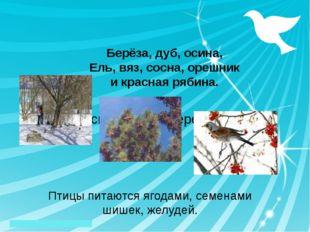 А сколько тут деревьев: Птицы питаются ягодами, семенами шишек, желудей. Бер