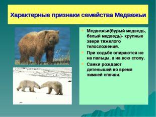 Характерные признаки семейства Медвежьи Медвежьи(бурый медведь, белый медведь