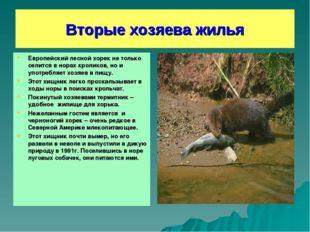 Вторые хозяева жилья Европейский лесной хорек не только селится в норах кроли